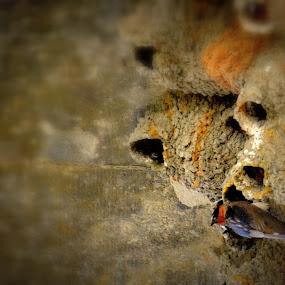 Swallow by Hayley Goerisch - Animals Birds