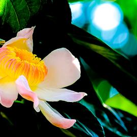Majestic Heaven Lotus.Gustavia augusta. by Jamaluddin Abdul Jalil - Flowers Tree Blossoms ( gustavia augusta, flowers, south american, fragrant, majestic heaven lotus, nature, tree blossoms, large flowers, garden, malaysia )