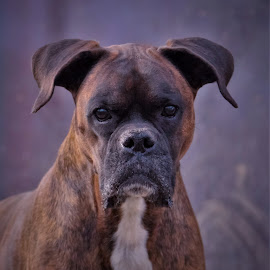 Miss Rainey by Sue Delia - Animals - Dogs Portraits ( boxer, closeup, alert, female, dog, pet, brindle,  )