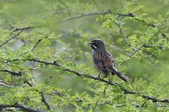 Photo: ! Bridled Sparrow (Zügelammer); Totoltepec de Guerrero, PUE