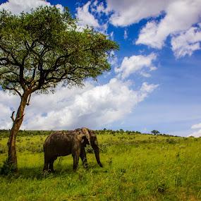 The Lone Elephant by Ebtesam Elias - Animals Other ( elephant, masai mara, wildlife, kenya, travel photography )