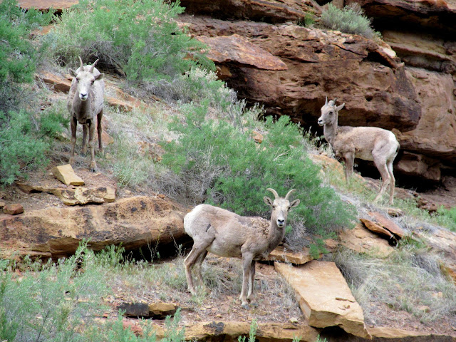 Bighorn sheep in Dry Canyon