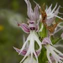 Νaked man orchid