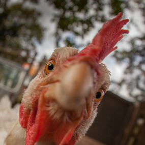 Did Someone Say Christmas! by John Walton - Animals Birds ( chicken, cock, funny, christmas, heritagefocus, closeup )