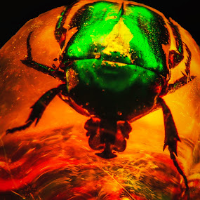 Green Beetle Encased in Amber by Dave Walters - Animals Insects & Spiders ( beetle, nature, cro colors, lumix fz2500, fossil )