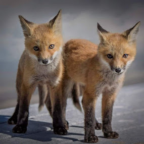 Twins by Kathy Image - Animals Other ( nature, beach, fox, wildlife, kits,  )