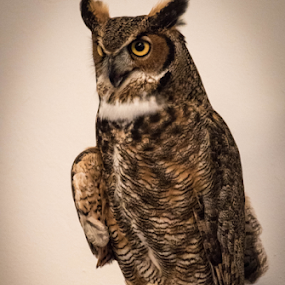 Kentucky the Great Horned Owl by Maureen McDonald - Animals Birds ( highland cemetery, owl, spring 2016, great horned owl, northern kentucky,  )