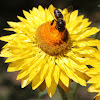 Golden everlasting / Strawflower