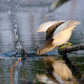 'Splash' by Nirupam Roy - Animals Birds ( water, splash, nirupam, heron, photography )