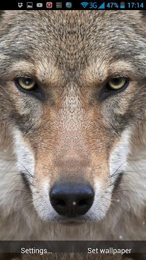 狼隊動態壁紙