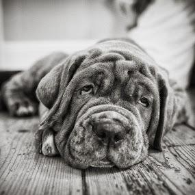 Puppy 2 by Dan Horton-Szar ARPS - Black & White Animals ( monochrome, black and white, pet, mastiff, puppy, dog,  )