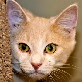 by Linda    L Tatler - Animals - Cats Portraits ( kitten, feline, cat, buff color )