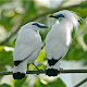 Download Poksai Bird Singing for PC - Free Music & Audio App for PC