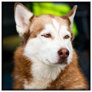 Dog Rampage Simulator - Wild Life APK