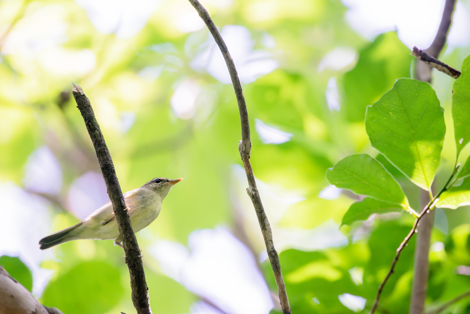 Photo: 緑の中を縫って Passes through the green forest.  森の中を流れる様に 木から木へと移っていく ふと立ち止まり見上げていると あっちへこっちへ 忙しそうに駆け回る  Arctic warbler. (メボソムシクイ) ※判断が難しかったので 間違ってたらすみません。  #birdphotography #birds #cooljapan #kawaii #nikon #sigma  Nikon D800E SIGMA 150-600mm F5-6.3 DG OS HSM Contemporary