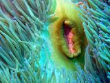 Photo: Anémone en Nouvelle-Calédonie
