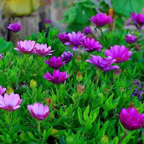 Purple margaritas by Pixie Simona - Flowers Flower Gardens ( purple flowers, garden flowers, purple margarita, garden flower, purple flower,  )