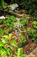 Photo: dank Gartenforum versuchen wir wieder mal unser Glück mit Glockenblumen... Da am endgültigen Standort noch umgeräumt werden muss, erst mal hier ....