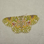 the Oriental orange banded green geometer moth,