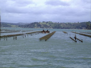 Photo: ...my job, the oysterfarm...