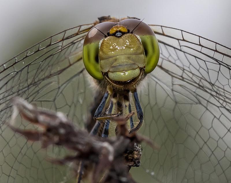 libellula in..particolare di angelo27
