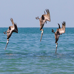 Synchronized diving of 3 Brown Pelicans by Cheryl Nestico - Animals Birds ( water, bird, synchronized, wildlife, pelicans, brown pelicans, fishing, birds, diving, sea of cortez,  )