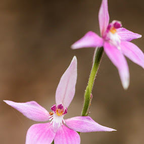 Wild Pink Fairy Orchids by Clarissa Human - Flowers Flowers in the Wild ( orchids, flowers, australia, pink flower, orchid,  )