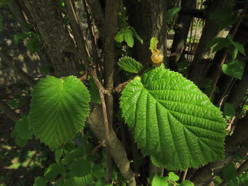 Le prime foglie ...  di CeCa