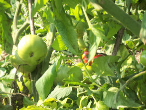Photo: Tomatoes...