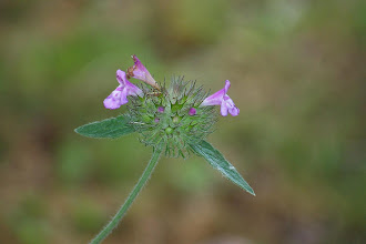 Photo: Clinopodium vulgare