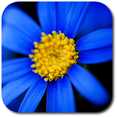 Blue flower. Live wallpaper