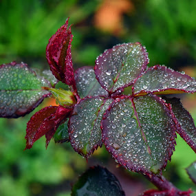 November Morning Dew by Marco Bertamé - Nature Up Close Natural Waterdrops ( rose, autumn, dew, drops, leaves, morning, droplets,  )