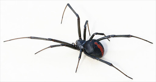 A screen shot of a female Australian redback spider. File photo.