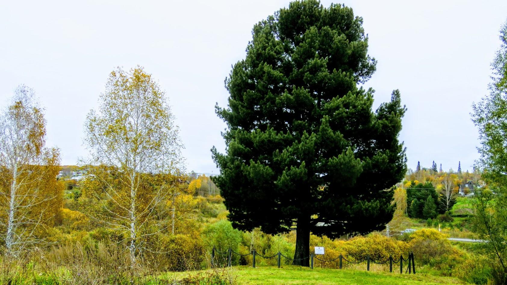 Смотреть фото миртовое дерево кистозное