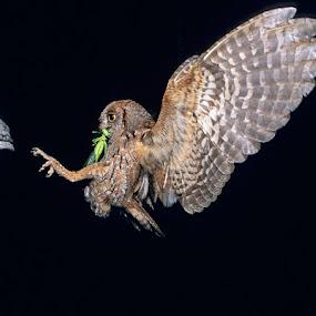 Night flight by Eden Meyer - Animals Birds ( bird, fly, owl, night, meal,  )