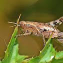 Common Maquis Grasshopper
