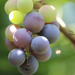 grapes  by Christiaan Bossert - Novices Only Objects & Still Life