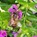 Honeybee on Mexican Heather