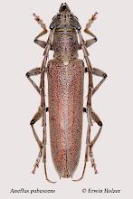 Photo: Aneflus pubescens, 30 mm, Costa Rica, Boca Tapada (10°41´/-84°11´), leg. Gernot Kunz, det. Herbert Schmid