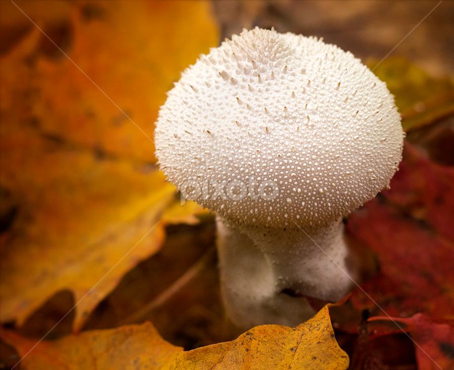 spiky puff ball mushroom  by Marianna Armata - Nature Up Close Mushrooms & Fungi ( mushroom, canada, puffball, caleidoscope, leaf, marianna armata, leaves, maple, macro, fungi, nature, color, autumn, foliage, fall, branch, pine )