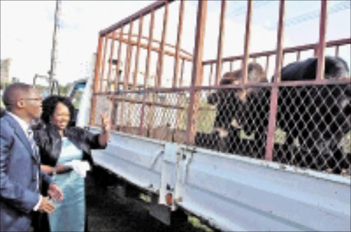 SPECIAL GIFT: Minister of Transport Sbu Ndebele and his wife Zama Ndebele viewing the cows they were given by the local taxi owners at the Vukuzakhe ceremony to honour the newly appointed minister at Woodburn Stadium yesterday. 17/05/09. Pic. Siyabonga Mosunkutu. © Sowetan.l