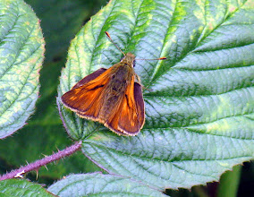 Photo: Large Skipper