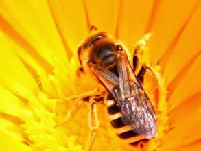 Photo: Halictus quadricinctus