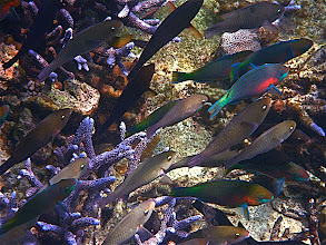 Photo: a school of parrotfish