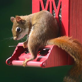 Red Squirrel at Breakfast by BethSheba Ashe - Animals Other Mammals ( small, red, pennsylvania, squirrel, sunlight, feeder, red squirrel, baby, october, breakfast, bird feeder, morning )