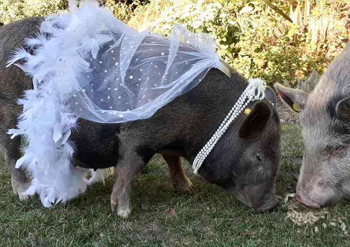 Connie the wedding bride pig
