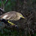 Heron - Indian Pond Heron