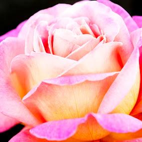 So Pink the Rose by Jennifer Eaton Roberts - Flowers Single Flower ( rose, pink, beauty, romance, flower )