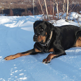 Affe by Ricky Friskilæ - Animals - Dogs Portraits ( snow, dobermann, dog, norway, rottweiler )