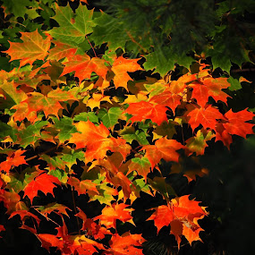 fall by Donna Davis Kasubeck - Landscapes Forests (  )